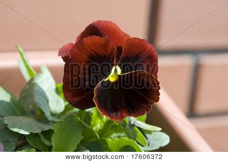 Pansy Brown