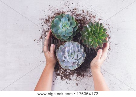 Succulent growing green plants on white wooden background with protecting hands, top view