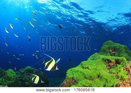 Underwater green algae blue water