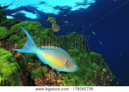Parrotfish, green algae blue ocean