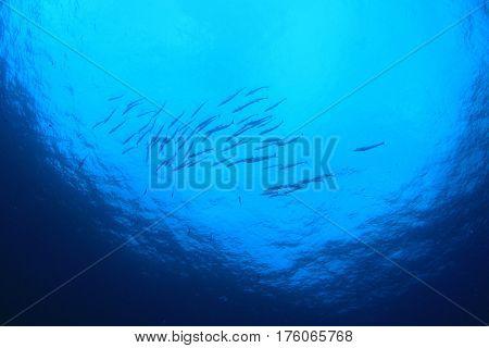 Barracuda fish school in blue ocean