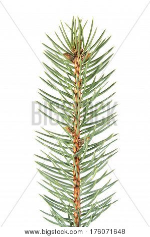 Fir branch isolated on white background. Green fir-needle