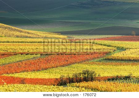 Vineyards In Autumn Colors
