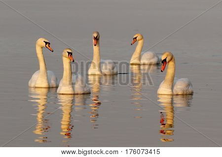 Six Mute Swans Cygnus olor swimming on the pond
