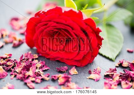 Red rose with rose petals on slate board