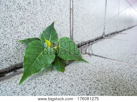 Small Banyan tree Growing up from boundaries between floor and wall of the building