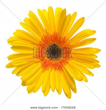 yellow flower isolated over white background