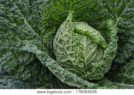 Close up of savoy cabbage with drops of dew