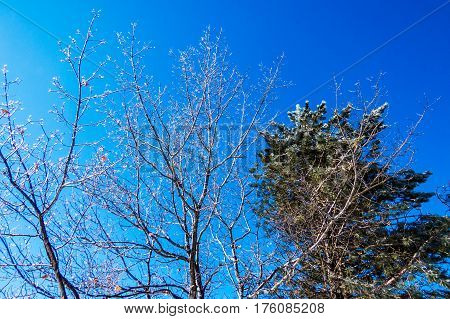 Iced Canadian winter trees with a clear blue sky. Levis, Quebec, Canada.