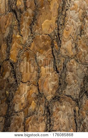 Texture of tree bark. Nature wooden brown texture.  The cracked bark on old tree.