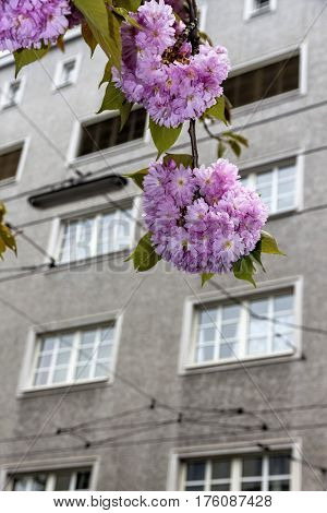 blooming tree and tenement