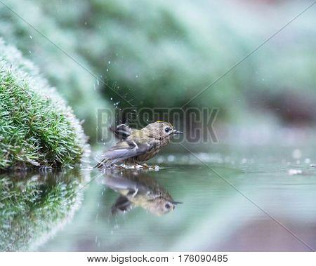 Goldcrest bird bathing in a forest pond.