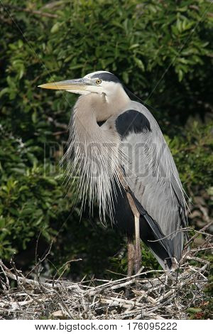 A Great Blue Heron, Ardea herodias standing at its nest in breeding plumage at a Florida rookery