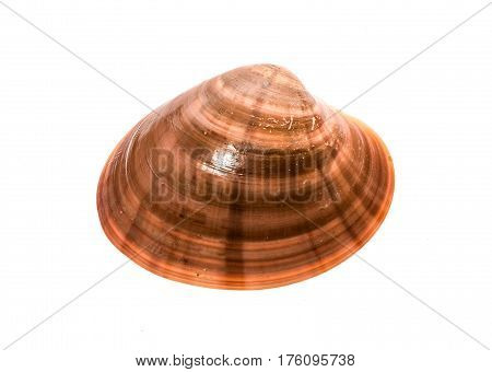 Fresh Smooth Clam - Fasolara - Callista Chione Shell Isolated.