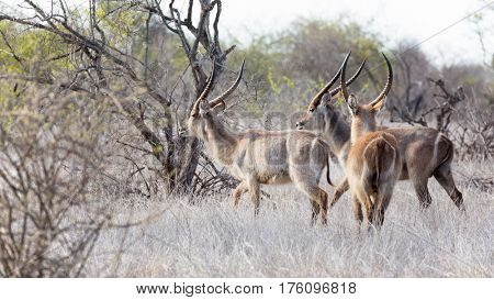 Three waterbuck in the dry grassland of Kruger National Park, South Africa.