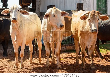 Herd Of White Oxen Together On A Corral Of A Farm