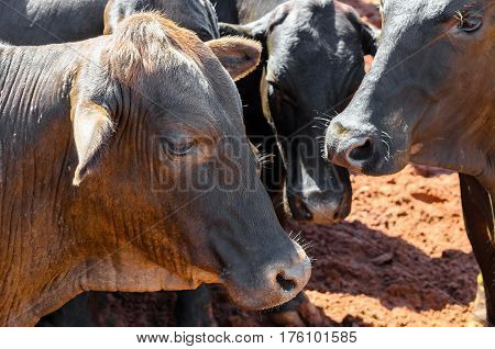 Herd Of Black Oxen On A Corral Of A Farm