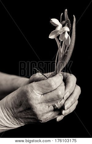 Old Lady's Hands Holding A Snowdrop. Black And White.