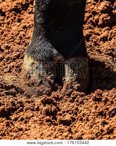 Hoof Of An Black Ox's Paw On A Dirt Ground