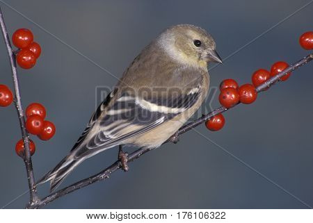 An American Goldfinch, Spinus tristis in winter plumage on a branch with red berries