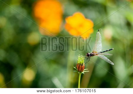 Dragonfly stand in bud dragonfly stand in flower bud