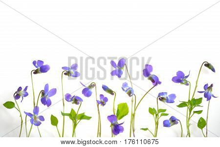 Viola odorata flowers on white background, close up