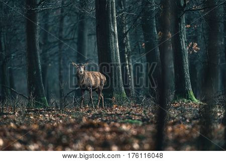Red Deer With Thrown Off Antlers In Forest. National Park Hoge Veluwe.