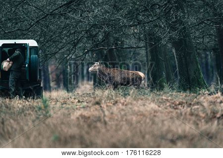 Red deer stag with thrown off antlers walking towards car and ranger. National Park Hoge Veluwe. poster