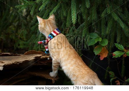 Red-haired kitten in striped scarf under the tree, looking into the distance, standing on hind legs.