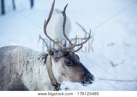 A female reindeer grazes against a background of white snow.
