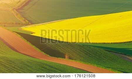 Green fields of wheat in the morning. Yellow fields of colza in morning sunlight. Sunny spring background. Beautiful agricultural concept.