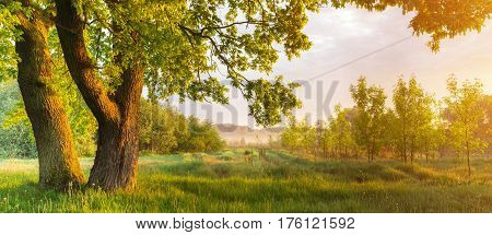 Green leaves in morning sunlight. Oak tree on meadow in the morning. Colorful spring sunrise.Sunny morning background.