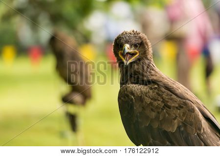 Awesome portrait of an eagle in captivity with a blurred background.