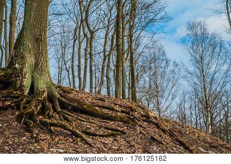 An awesome tree on Parnas mountain in Tsarskoe Selo Pushkin Saint Petersburg