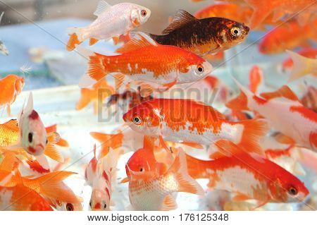 many goldfish in the aquarium of pet shop for sale