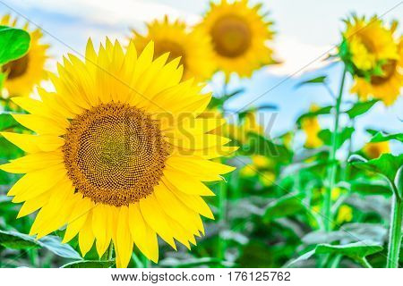 Bright blooming sunflower on a field background . Agricultural background with limited depth of field