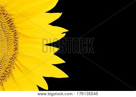 Fragment of yellow blooming sunflowers with petals isolated on a black background