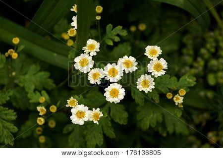 Yellow spring flowers with white petals and a yellow core in the territory of the city