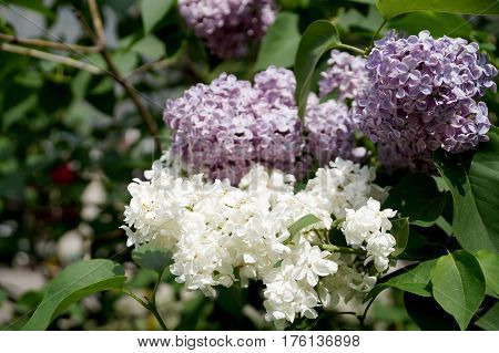 Branches of densely blossoming lilac in city conditions
