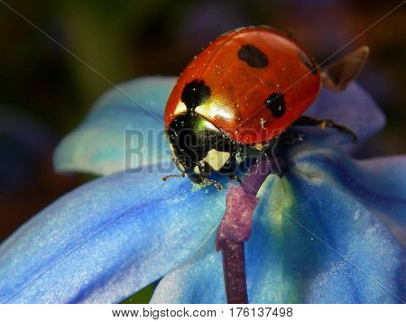 The ladybird on the blue flower of the snowdrop. Close up view