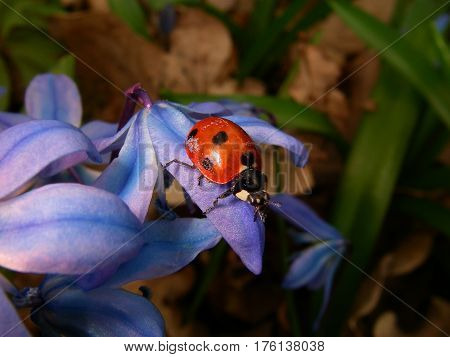 The ladybird on the blue flower of the snowdrop