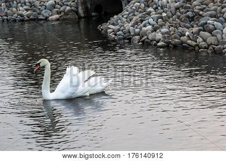 The white swan floats on water in a pond