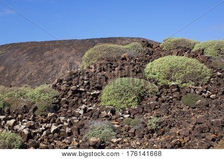 Arid territory of Lobos island, Canary, Spain. Euphorbia balsamifera plant. Tabaiba dulce. Lanzarote symbol