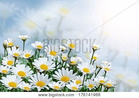 Beautiful daisies on a background of blue sky.Field with blooming flowers on a Sunny day.Summer background.