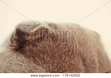 Gray cat ears on blurred background, close up
