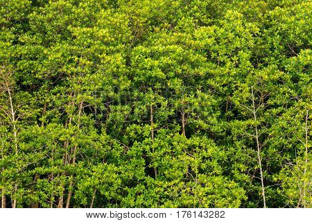 close up Mangrove forest in phuket Thailand