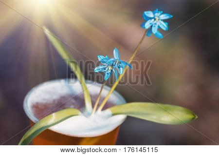 beer and blue flower spring snowdrops Scilla Squill soft focus. nature background.