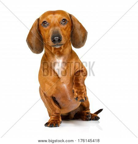 Hungry Sausage Dachshund Dog