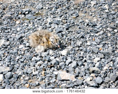 chick seagulls sitting on the rocks in palmaria island