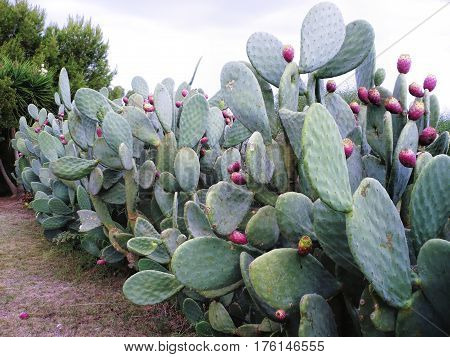 plants of opuntia ficus in a garden